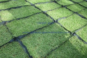 Medium carpet grass