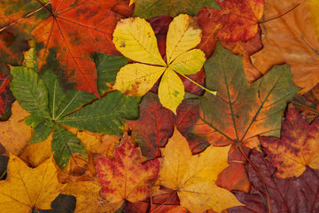 Medium colorful autumn leaves 871286965014l8g8