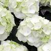 Thumb hydrangea schneeball white
