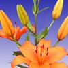 Thumb tiger lily