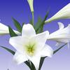Thumb madonna lily