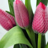 Thumb tulip holland